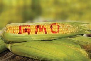 gmo corn poison