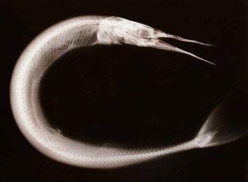 X-ray image of a needlefish